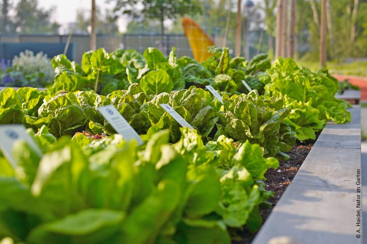 chinakohl pflanzen tipps garten pflege, freizeit & feiern | wir leben nachhaltig, Design ideen